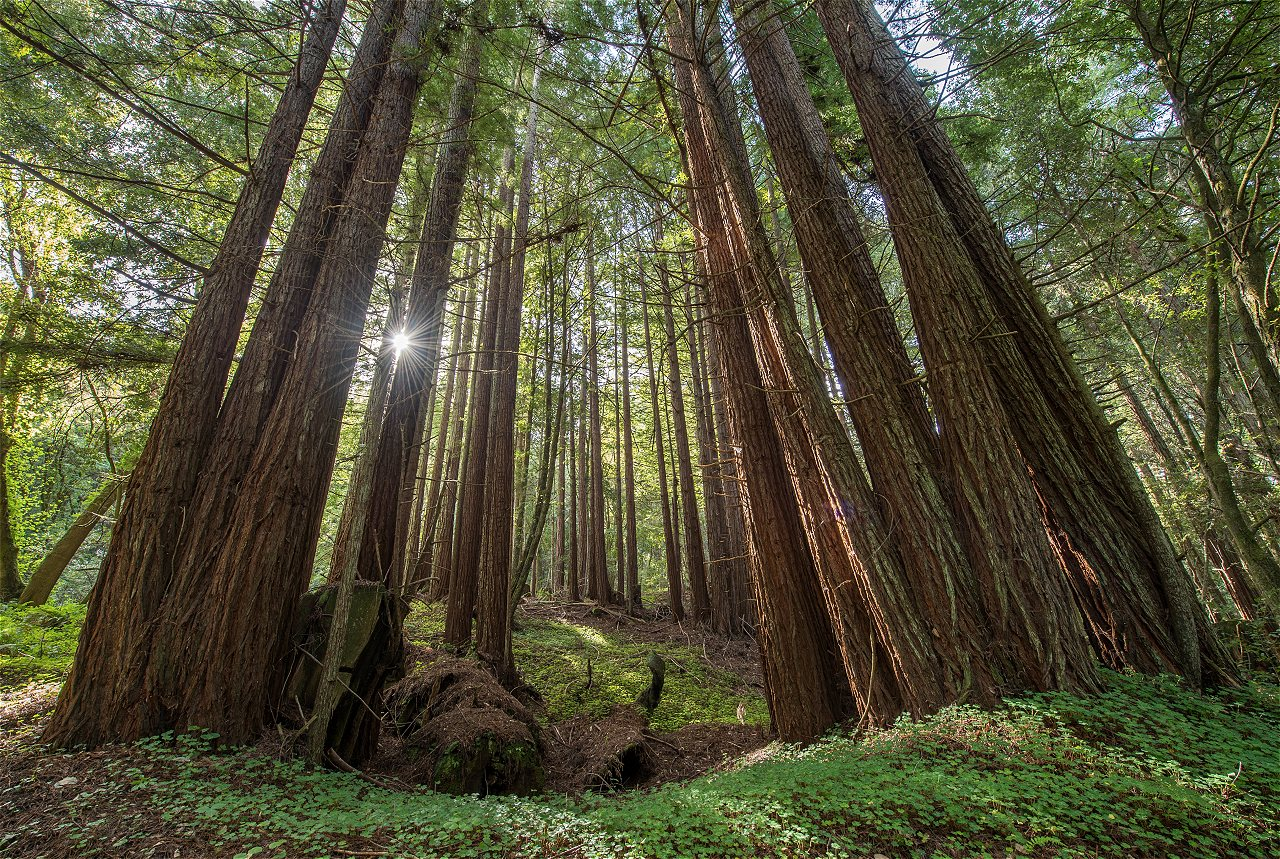how to you heal a redwood forest in california post